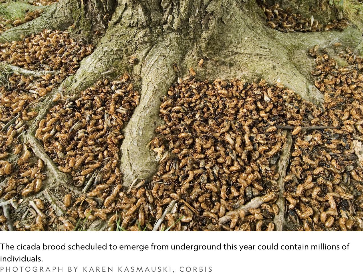 cicada carcasses, dead cicadas, national geographic