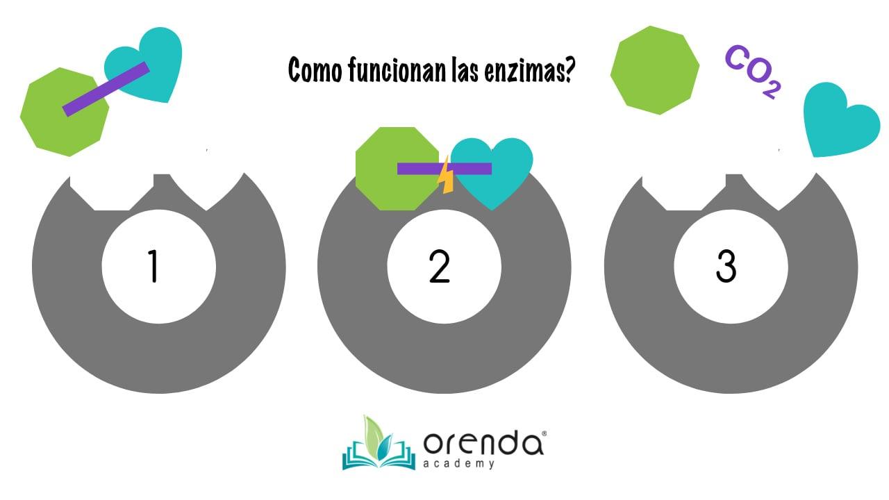 como funcionan las enzimas