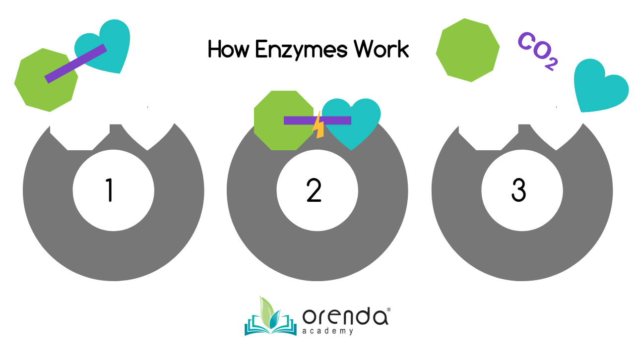 how enzymes work-1