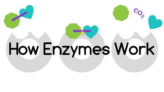 BLOG how enzymes work